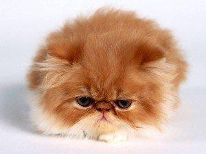 Como cuidar de gato persa