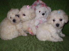 Poodle Micro Toy cuidados