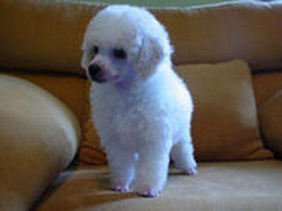 Informações Poodle Micro Toy