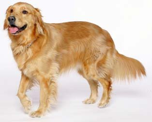 Como é o Golden Retriever
