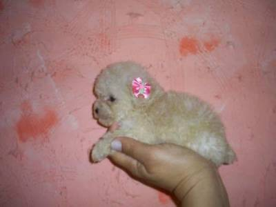 Cachorro Poodle Micro Toy
