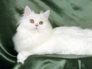 Pelo do gato persa