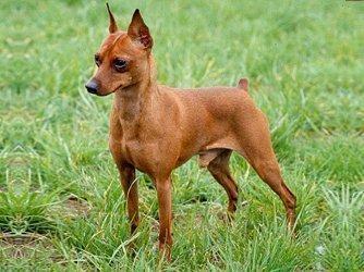 Pinscher : o cão de guarda e de companhia - Estimação