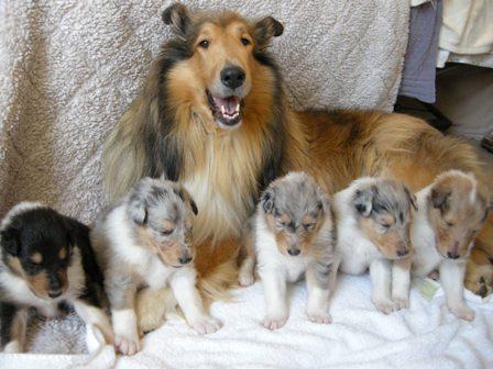 Comprar cachorro Collie