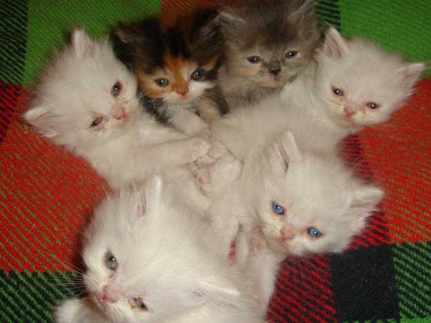 Características do gato persa