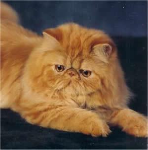 Como é o gato Persa