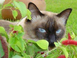 Cuidados com o gato Siamês