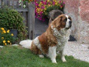 Como cuidar do cão São Bernardo