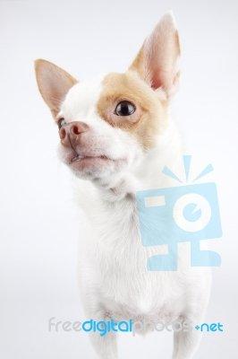 Cachorro de pequeno porte