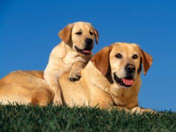 Labrador X Golden Retriver Escolha Certo Estimação