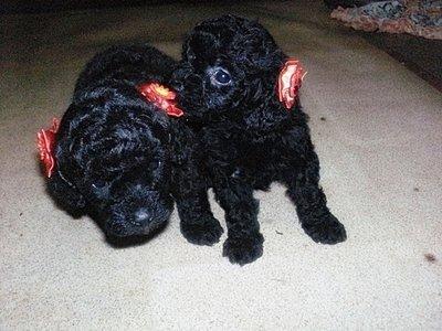 Poodle Micro Toy - Comprar e vender!