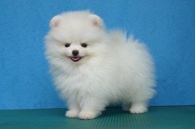 Temperamento e características do cão da raça Lulu da Pomerânia