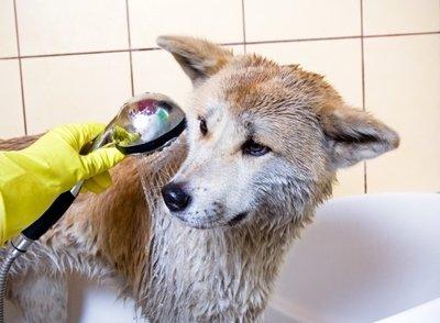 Porque não dar banho nos animais depois de vacinados?