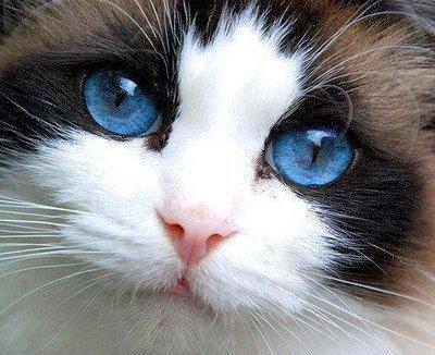 Como saber se o gato está com febre?