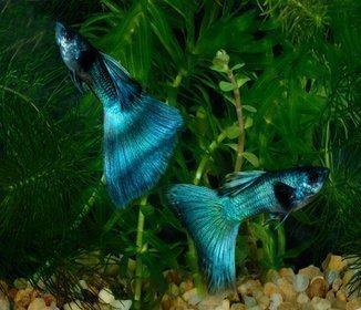 Melhores Peixes Para Aquaristas Iniciantes Estima 231 227 O