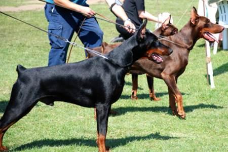 Tipos De Pelagem De Cachorro Estimação